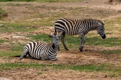 Zèbre de plaines dans Masai Mara, Kenya, Afrique photos libres de droits