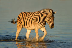 Zèbre de plaines marchant dans l'eau images libres de droits