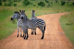 zèbre de safari de croisement Images stock