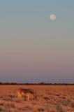 Zèbre du ` s de Burchell avec le nationalpark d'etosha de pleine lune, Namibie Photographie stock libre de droits