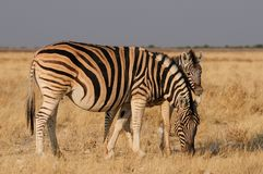 Zèbre du ` s de Burchell avec le poulain, nationalpark d'etosha, Namibie Photo libre de droits