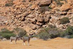 Zèbre du ` s de Burchell en Namibie Images libres de droits