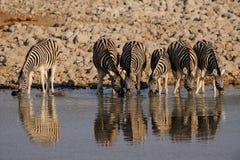 Zèbre du ` s de Burchell sur le point d'eau, nationalpark d'etosha, Namibie, burchelli d'equus Photographie stock libre de droits