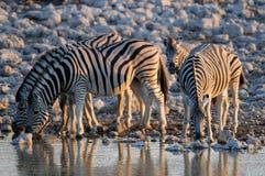 Zèbre du ` s de Burchell sur le point d'eau, nationalpark d'etosha, Namibie, burchelli d'equus Photos stock