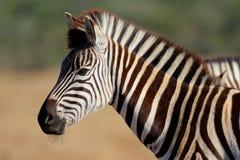 zèbre du sud de l'Afrique Photographie stock libre de droits