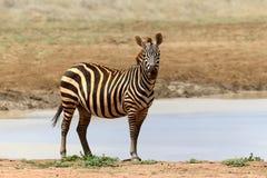Zèbre en parc national du Kenya Images stock