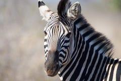Zèbre en stationnement national de Kruger image libre de droits