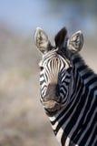 Zèbre en stationnement national de Kruger photographie stock