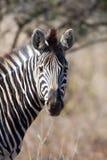 Zèbre en stationnement national de Kruger photo libre de droits