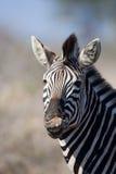 Zèbre en stationnement national de Kruger image stock