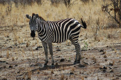 Zèbre en Tanzanie Images libres de droits