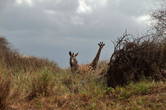 Zèbre et girafe - masai Mara - Kenya Photographie stock
