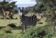 Zèbre et giraffe Photos libres de droits