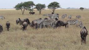 Zèbre et gnou dans Serengeti banque de vidéos
