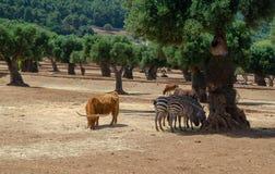 Zèbre et petit buffle dans le zoo Italie de safari d'apulia de Fasano photographie stock