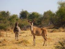Zèbre et plus grand Kudu Images stock