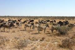Zèbre et Wildebeest Photos libres de droits