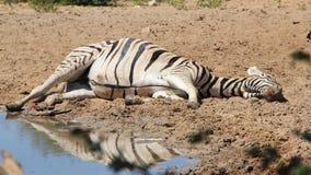 Zèbre - faune africaine - Mare Reflection et petit somme Image stock