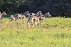 Zèbre - faune d'Afrique - série de rayures Image stock