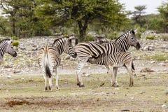 Zèbre, femelles avec des poulains Photographie stock libre de droits