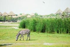 Zèbre mangeant l'herbe sur classée Images libres de droits