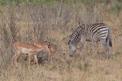 Zèbre marchant en Afrique autour image stock