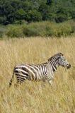Zèbre, masai Mara Image stock