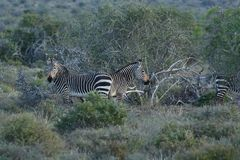 Zèbre mis en danger d'Equus de zèbre de montagne de cap, Addo Elephant National Park, Afrique du Sud image libre de droits