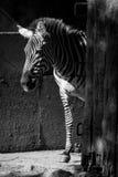 Zèbre mono de Grevy se tenant dans la grange ensoleillée Photo stock