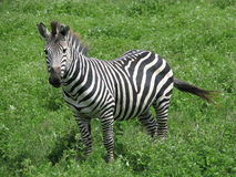 Zèbre (Ngorongoro, Tanzanie) Photo stock
