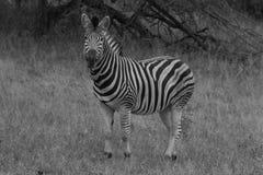 Zèbre noir et blanc Images stock