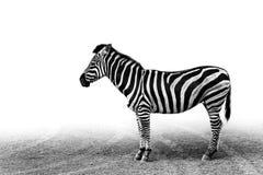 Zèbre noir et blanc Photo libre de droits