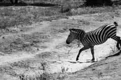 Zèbre noir et blanc en parc national de Tarangire, Tanzanie Images stock