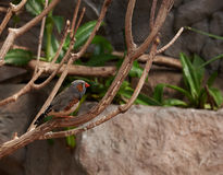 Zèbre-pinson se reposant sur une branche photographie stock