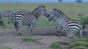 Zèbre, quagga d'Equus, sautant du point d'eau photos stock