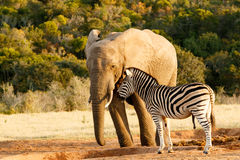 Zèbre raillant un éléphant africain énorme de buisson images libres de droits