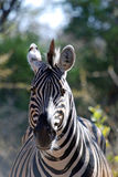 Zèbre sauvage africain Photos libres de droits