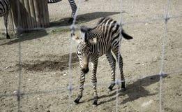 Zèbre sauvage mis en cage photo libre de droits