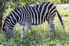 Zèbre se tenant dans l'herbe à l'intérieur du parc de Kruger, Afrique du Sud Photo libre de droits