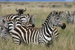 Zèbre Serengeti Tanzanie Photo stock