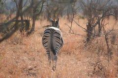 Zèbre sud-africain image libre de droits