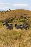 Zèbres éthiopiens sur la savane Image stock