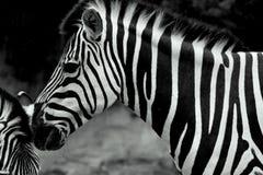 zèbres Image libre de droits