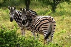 Zèbres africains images libres de droits