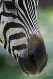 Zèbres africains Photo stock