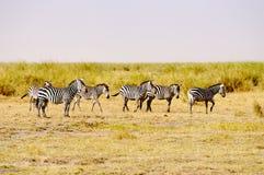 Zèbres, Amboseli Photo stock