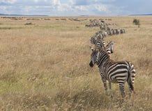 Zèbres au stationnement national de Serengeti, Tanzanie Photographie stock libre de droits