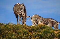 Zèbres chez San Diego Zoo Photographie stock libre de droits