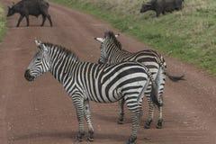 Zèbres, cratère de Ngorongoro, Tanzanie Image stock