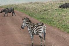 Zèbres, cratère de Ngorongoro, Tanzanie Images libres de droits